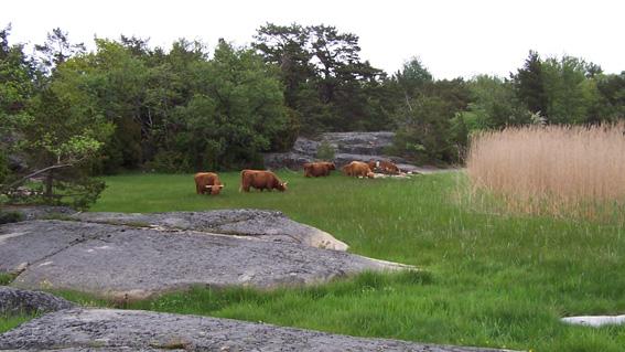 Kor i vassen